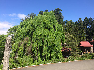 永昌寺/枝垂桂の巨木
