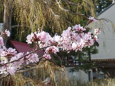 永昌寺の春は桜が見頃です