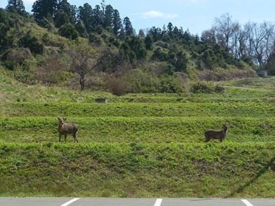 時には鹿が散歩