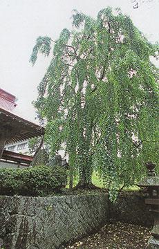 永昌寺の寺宝/枝垂桂の巨木