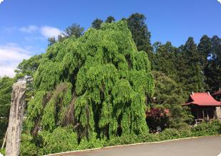 永昌寺境内の巨木